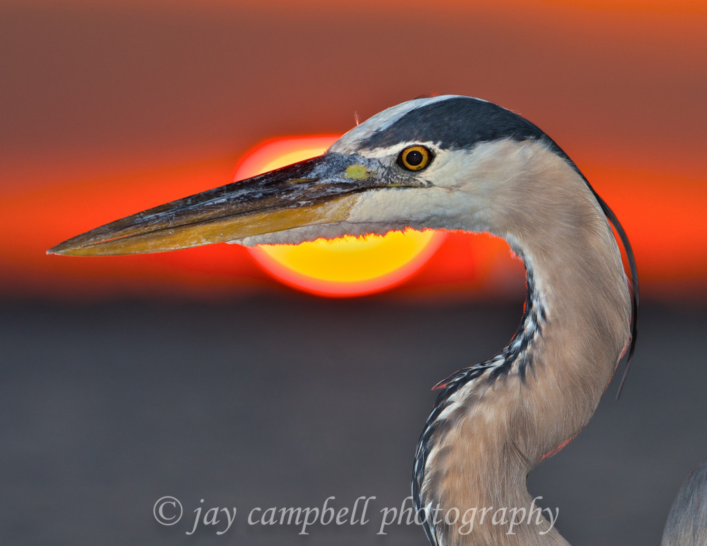 Heron with Sunset